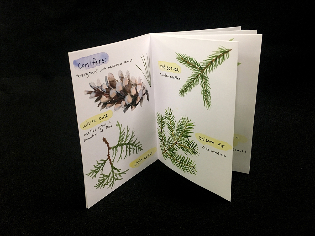 "first two pages of ""Tree Walk"" book. These pages are about conifers, including watercolor images of white pine needles, pine cone, white cedar needles, balsam fir bough, and red spruce bough"