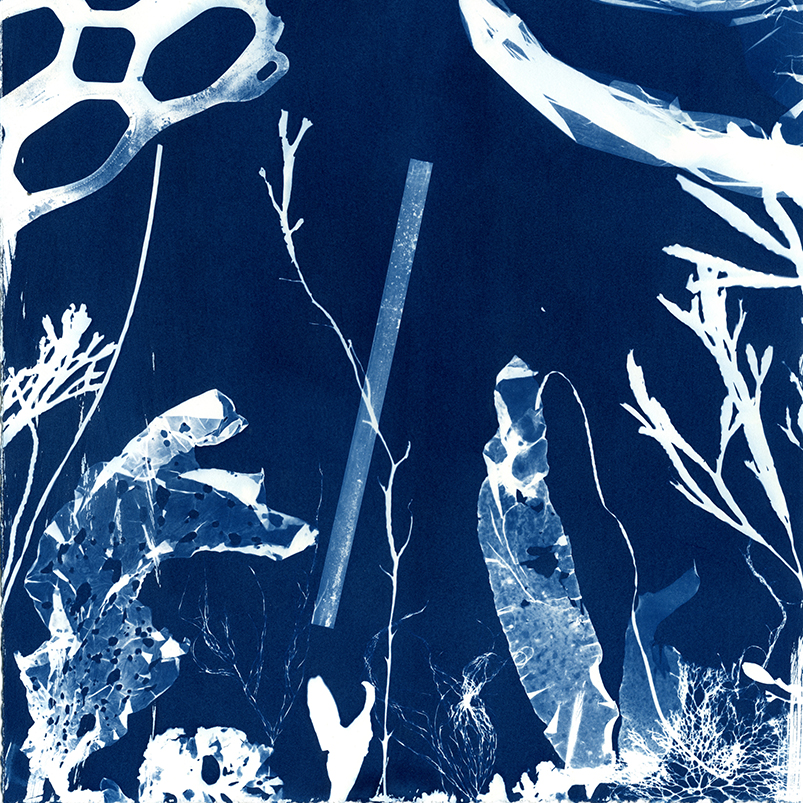cyanotype of seaweeds, plastic bag, plastic straw, and plastic can ring. Link to Cyanotype Impressions of the Atlantic Ocean in Maine.
